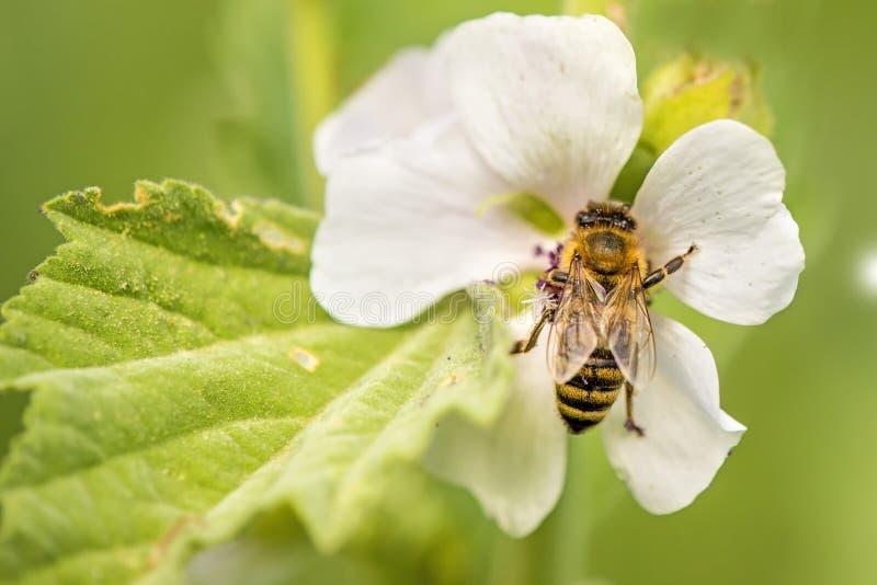 Honingbij op een bloem van een heemst stock foto's