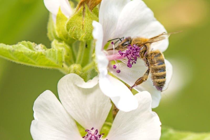 Honingbij op een bloem van een heemst stock fotografie