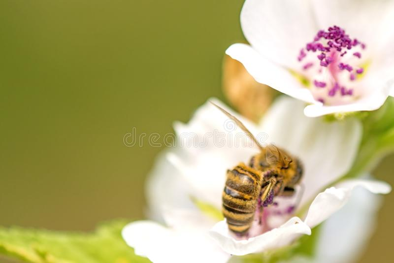 Honingbij op een bloem van een heemst stock afbeeldingen