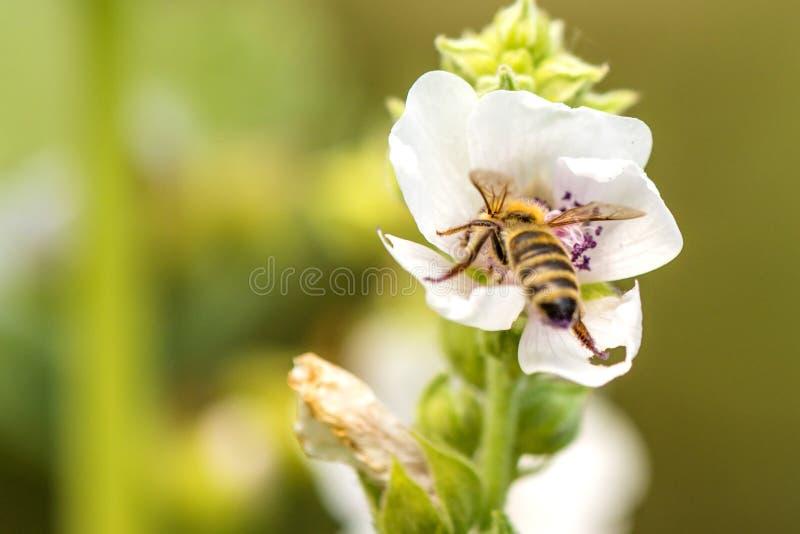 Honingbij op een bloem van een heemst royalty-vrije stock foto