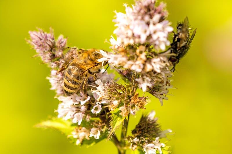 Honingbij op een bloem van een pepermunt royalty-vrije stock afbeelding