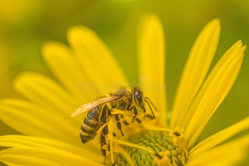 Honingbij op een gele bloem in de zomer royalty-vrije stock afbeelding