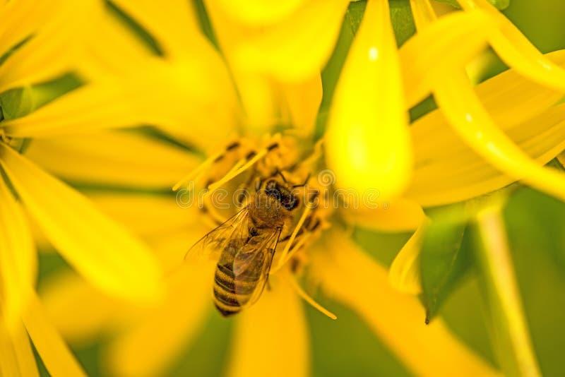 Honingbij op een gele bloem in de zomer royalty-vrije stock fotografie