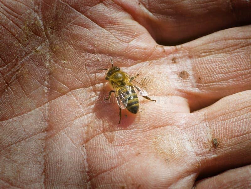 Honingbij op een man palm stock fotografie
