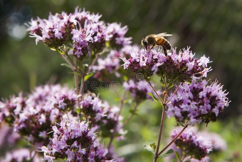 Honingbij op een roze oregobloem royalty-vrije stock afbeeldingen