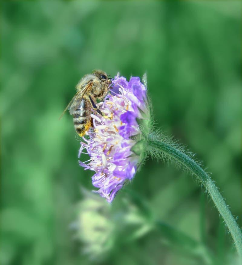 Honingbij op een wilde bloem onder groene vegetatie op een hete de zomerdag stock afbeeldingen