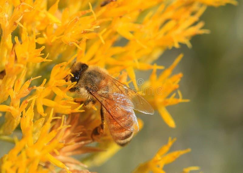 Honingbij op gele bloemen stock afbeeldingen