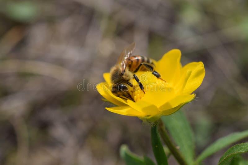 Honingbij op gele wildflower A stock afbeelding