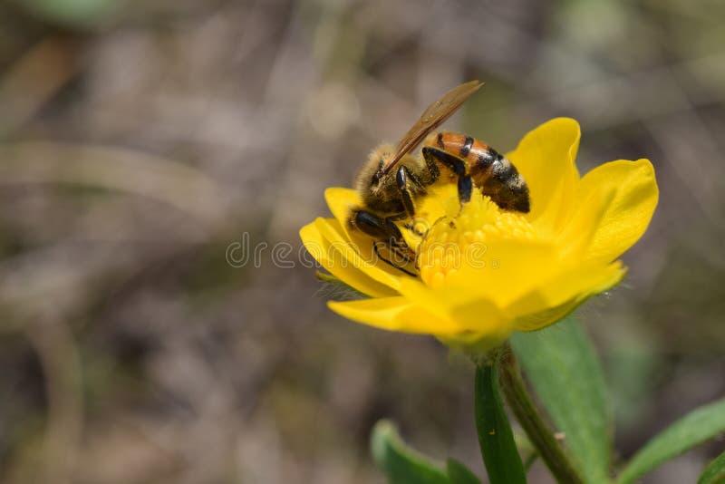 Honingbij op gele wildflower B stock foto