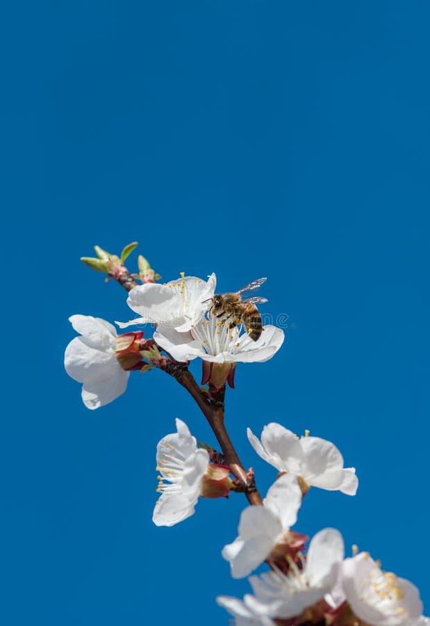 Honingbij op kersenbloemen royalty-vrije stock fotografie