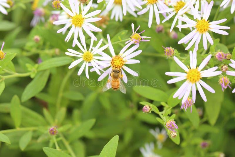 Honingbij op wilde chrysant royalty-vrije stock afbeeldingen