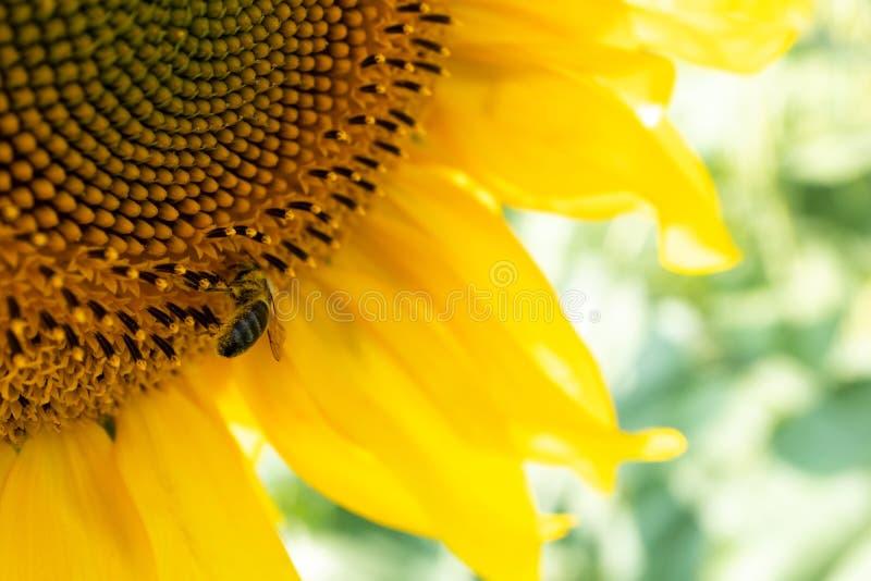 Honingbij op zonnebloemclose-up in zonnige dag stock afbeeldingen