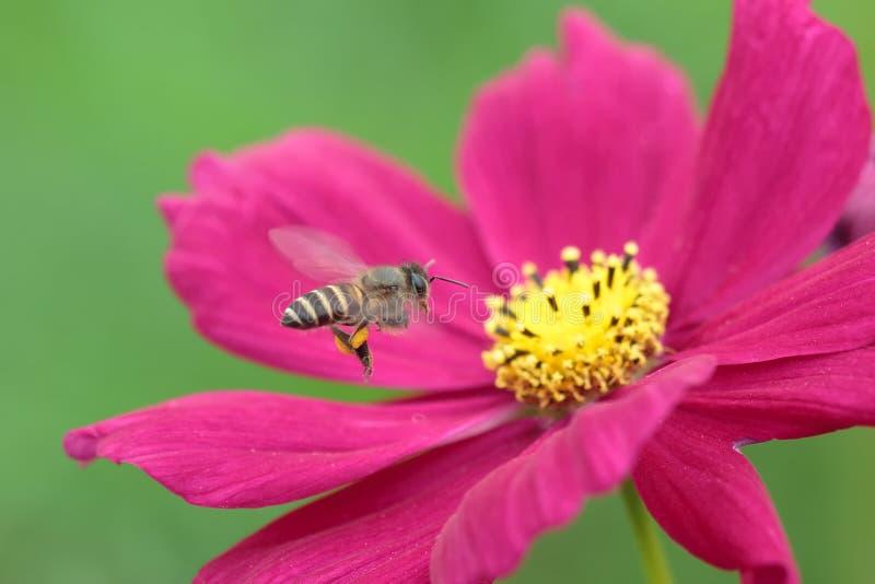 Honingbij van rode bloem wordt bestoven die stock foto