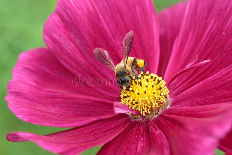 Honingbij van rode bloem wordt bestoven die royalty-vrije stock foto's