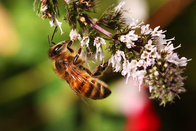Honingbijbijen die op melliferahoningbij van Apis van de pepermuntbloem voeden stock fotografie