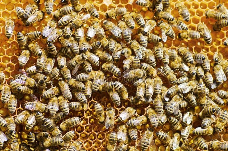 Honingbijen stock fotografie