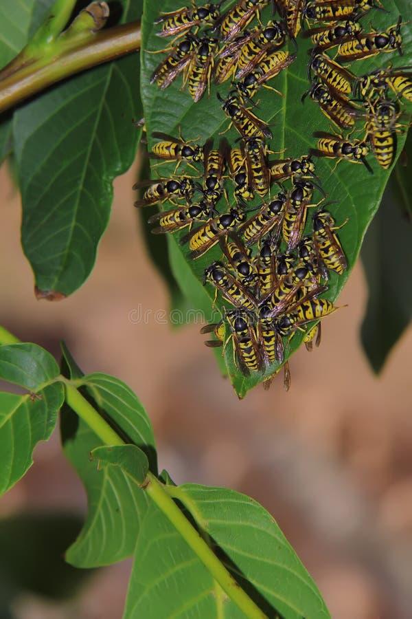 Honingbijen stock foto