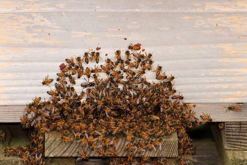Honingbijen bij de ingang aan een bijenkorf stock fotografie