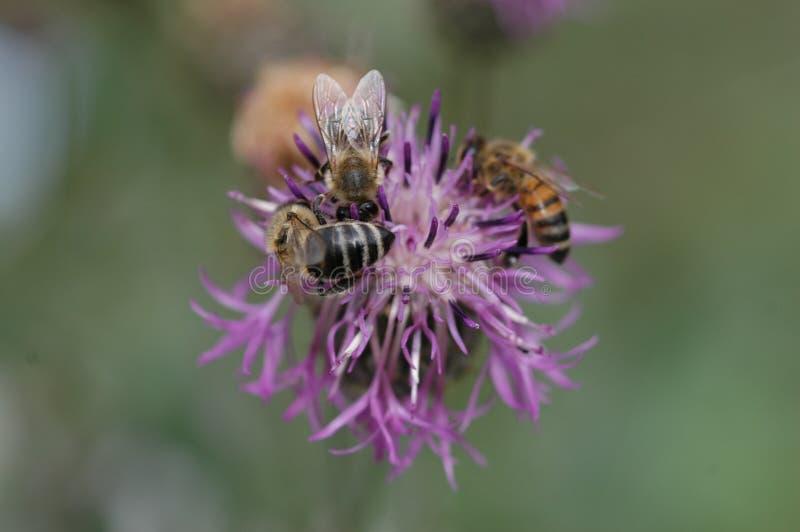 Honingbijen die stuifmeel verzamelen royalty-vrije stock foto's