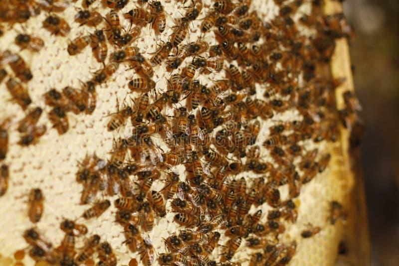 Honingbijen in een bijendoos worden gehouden die verse honing produceren die royalty-vrije stock afbeeldingen