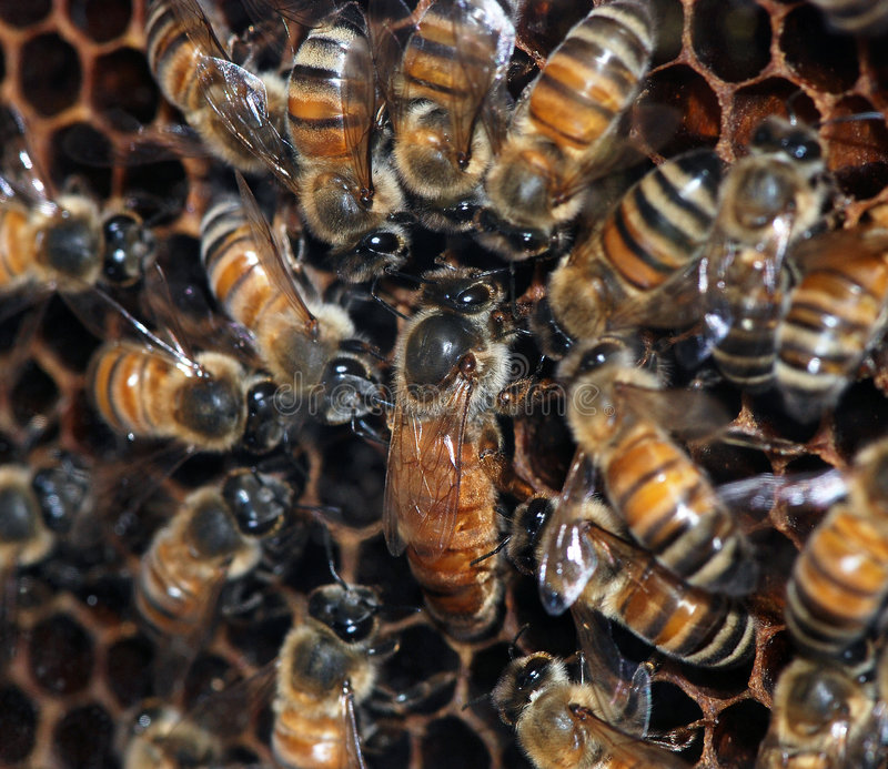 Honingbijen met koningin stock foto's