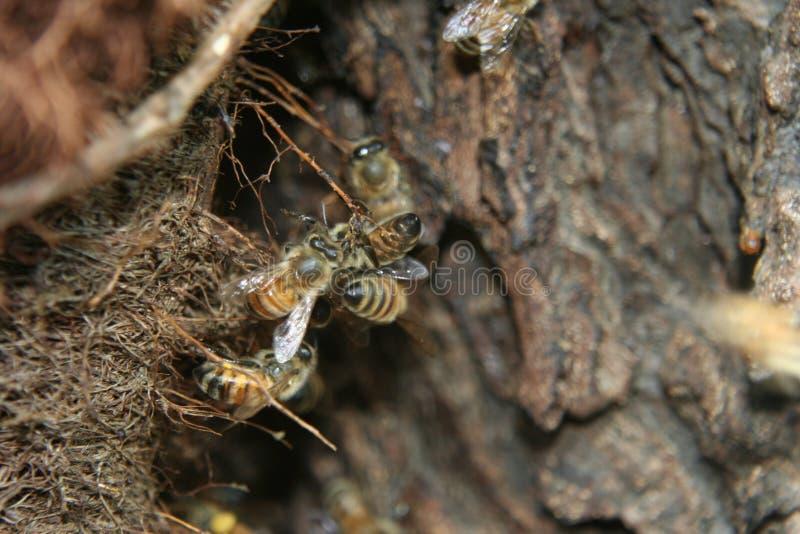Honingbijen in nest royalty-vrije stock foto's