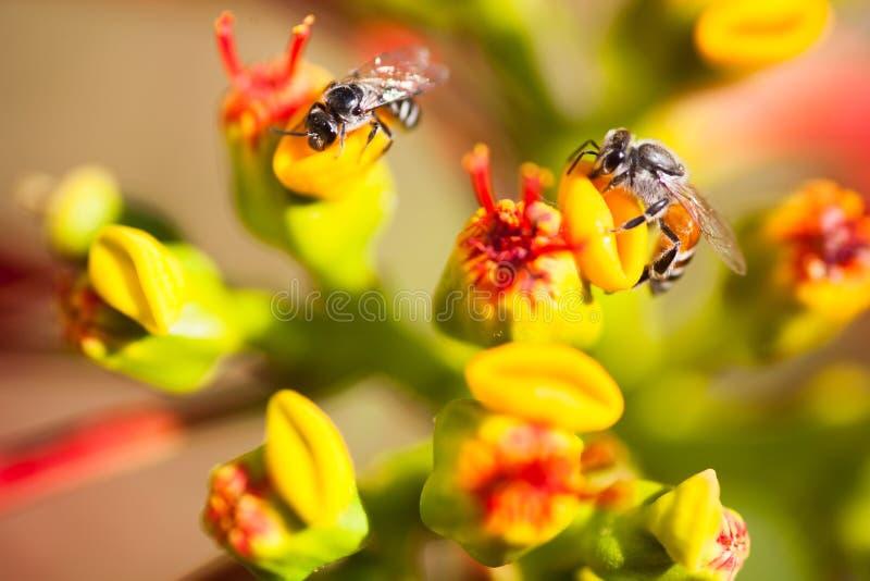 Honingbijen op bloemen stock afbeeldingen