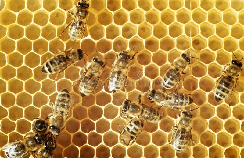 Honingbijen op een kam royalty-vrije stock fotografie