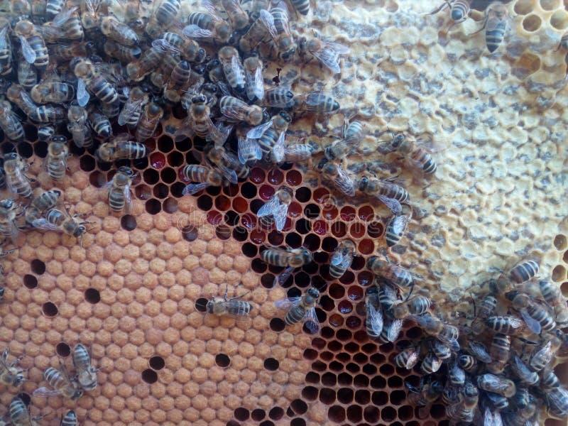 Honingbijen op het werk royalty-vrije stock fotografie