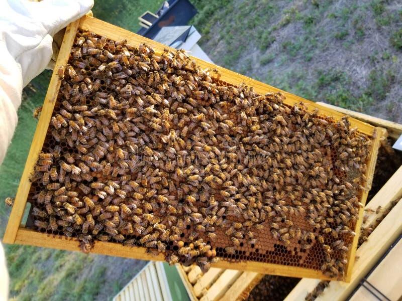 Honingbijen in Texas stock afbeeldingen
