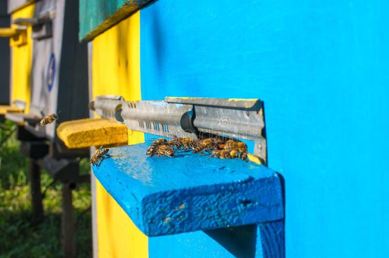 Honingbijenvlieg dichtbij de bijenkorf stock afbeelding