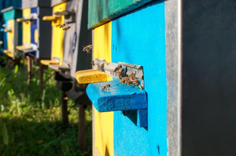 Honingbijenvlieg dichtbij de bijenkorf stock fotografie