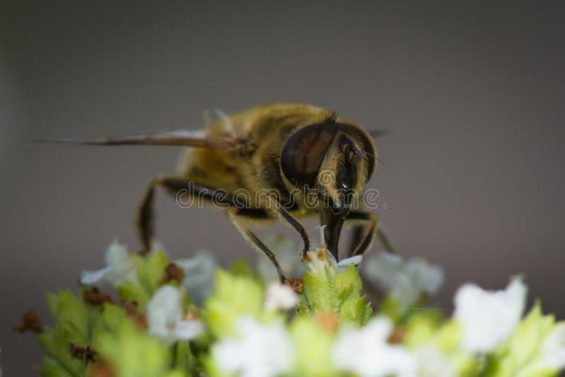 Honingbijmacro royalty-vrije stock afbeeldingen