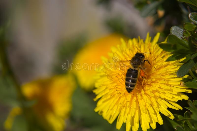 Honingbijmacro stock afbeelding