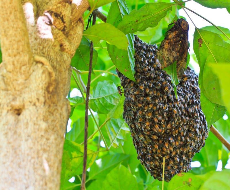 Honingbijzwerm stock afbeeldingen