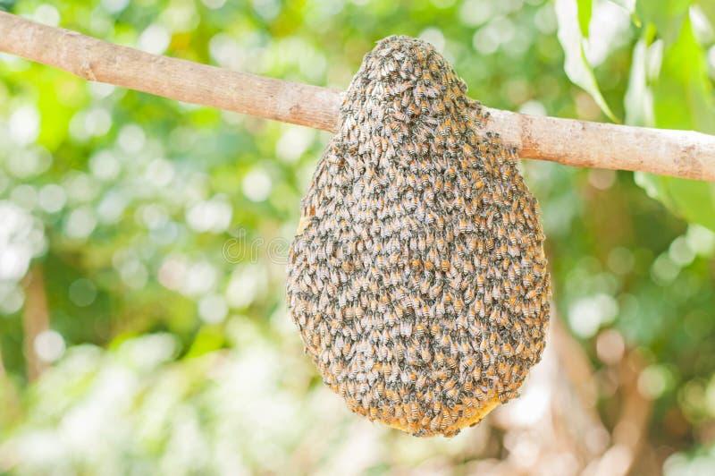 Honingbijzwerm het hangen royalty-vrije stock foto