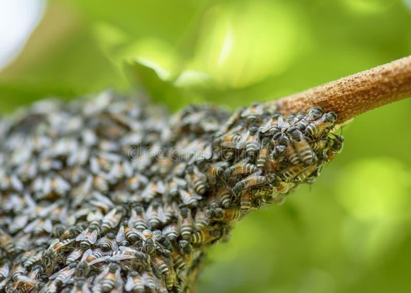 Honingbijzwerm het hangen bij boom in aard royalty-vrije stock foto's
