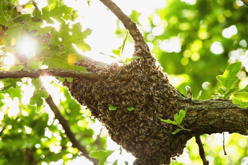 Honingbijzwerm het hangen bij de boom in aard stock afbeelding