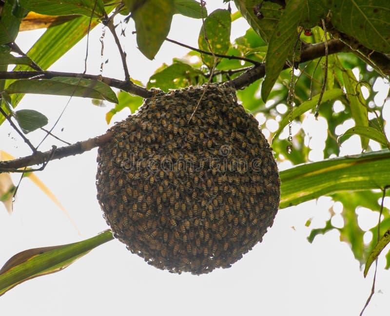 Honingbijzwerm het hangen op guaveboom in aard na het rainning royalty-vrije stock foto