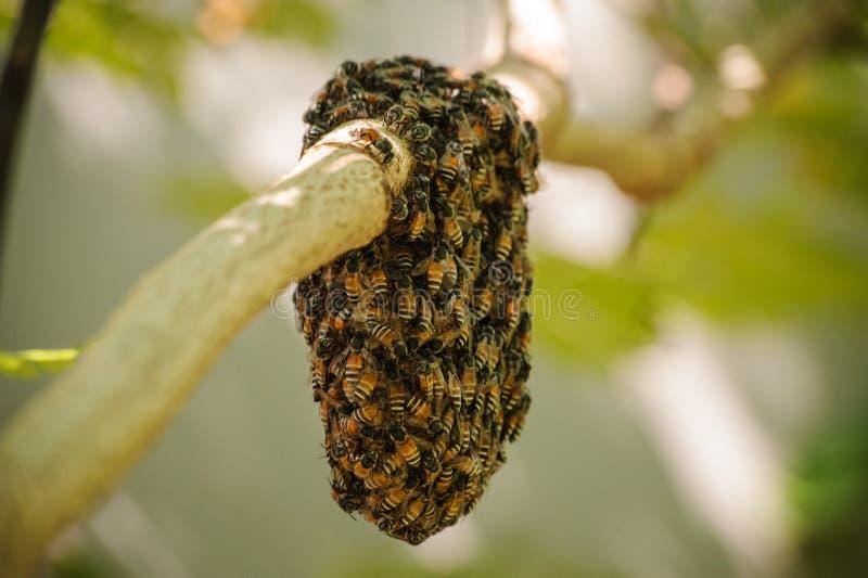 Honingbijzwerm het hangen op kleine tak van boom royalty-vrije stock foto's