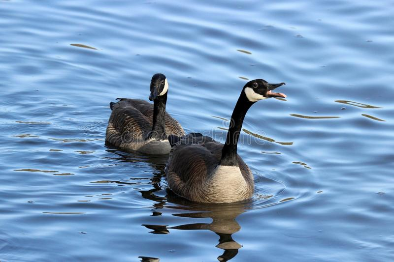 Honk. Canada Geese Branta canadensis honking at other birds on blue water stock images