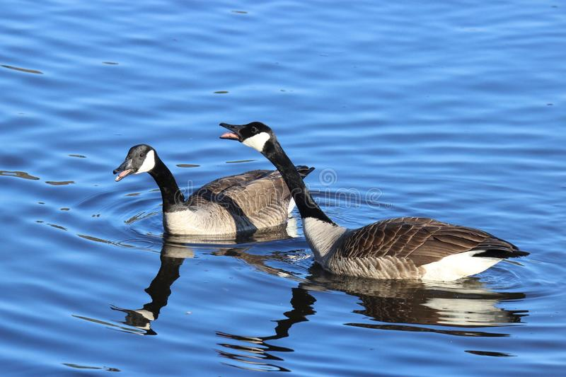 Honking Canada Geese. Canada Geese Branta canadensis honking at other birds on blue water stock photos
