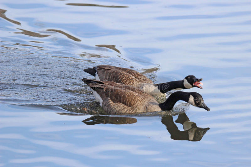 Honking Geese. Two Canada Geese Branta canadensis swimming on blue water, honking at other birds to defend their territory royalty free stock images