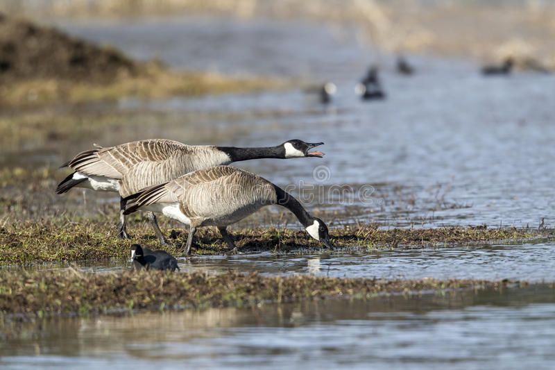 Honking goose at the lake. One Canadian goose is honking next to another goose at Hauser Lake, Idaho stock photography