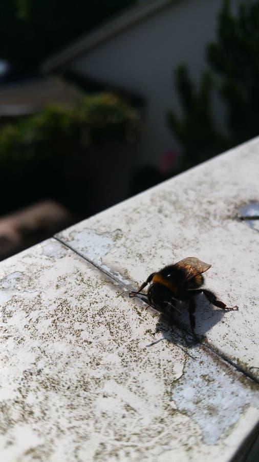 Honny Holland-Sonne der Biene stockfotografie