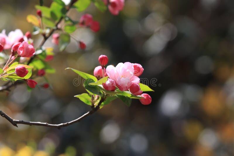 Honor sto flowersï ¼ šBegonia kwitnie zdjęcia royalty free