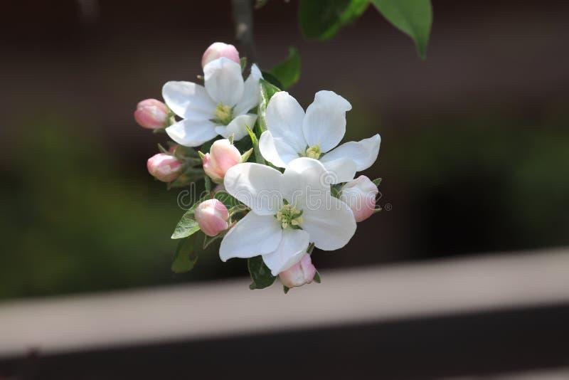 Honor sto flowersï ¼ šBegonia kwitnie obraz royalty free