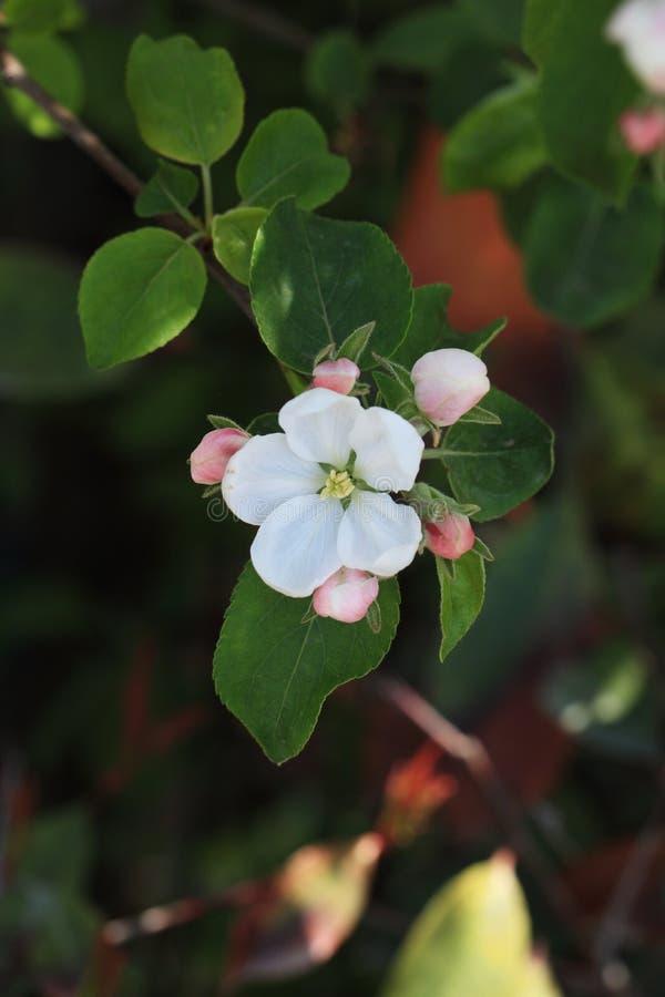 Honor sto flowersï ¼ šBegonia kwitnie fotografia stock