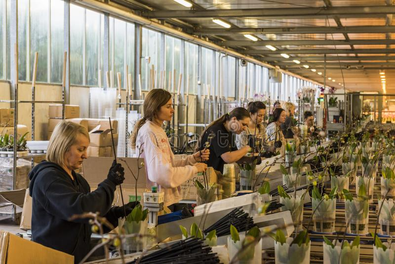 Workers Orchid Greenhouse in Holland stock image