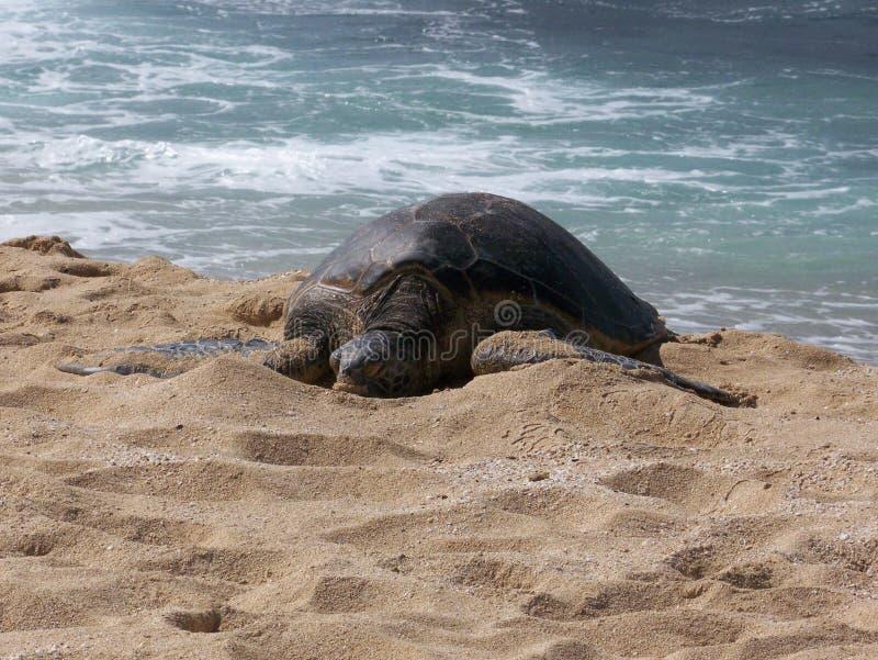Honu che espone al sole sulla spiaggia immagini stock
